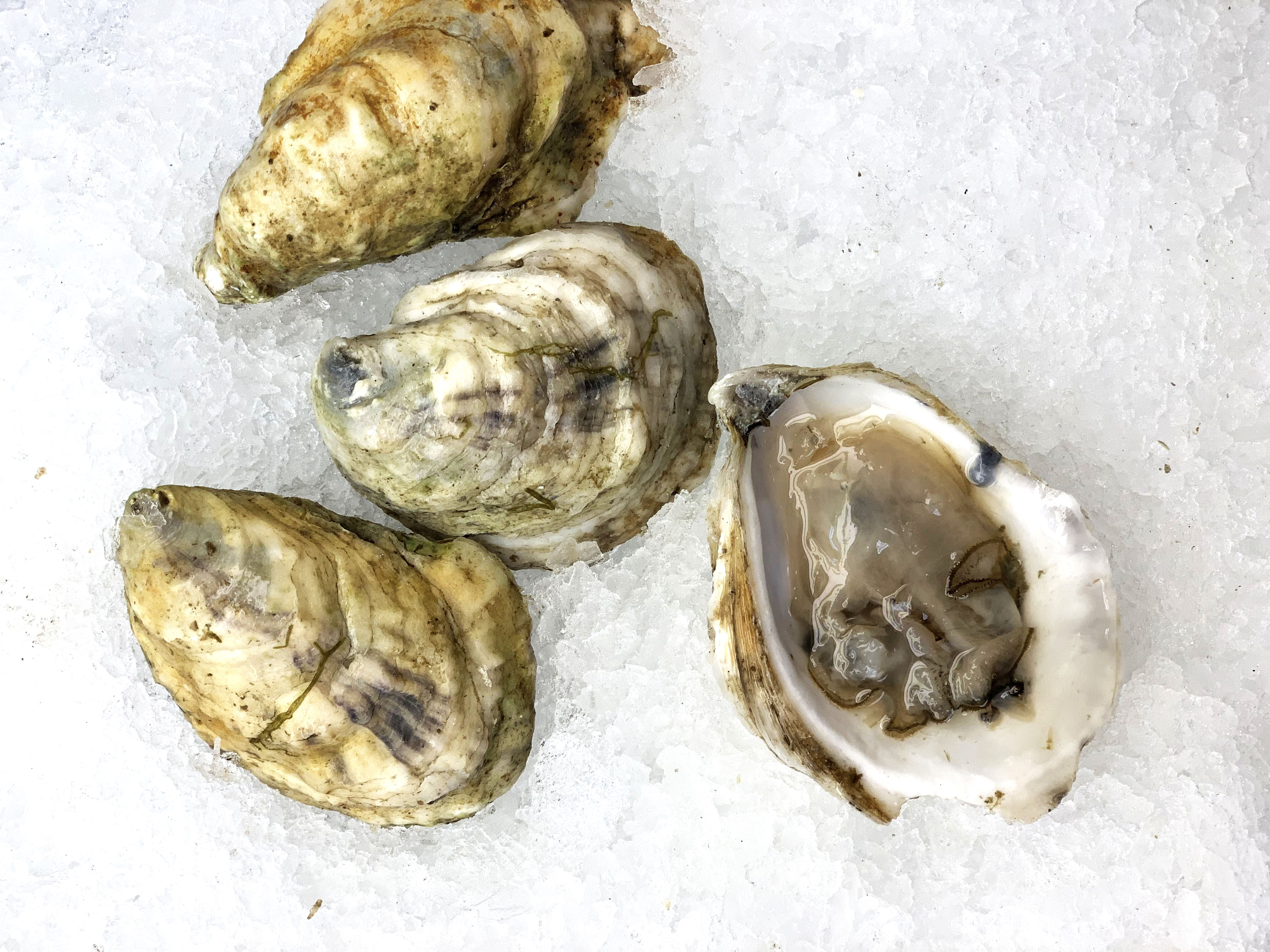 Oysters, Great White